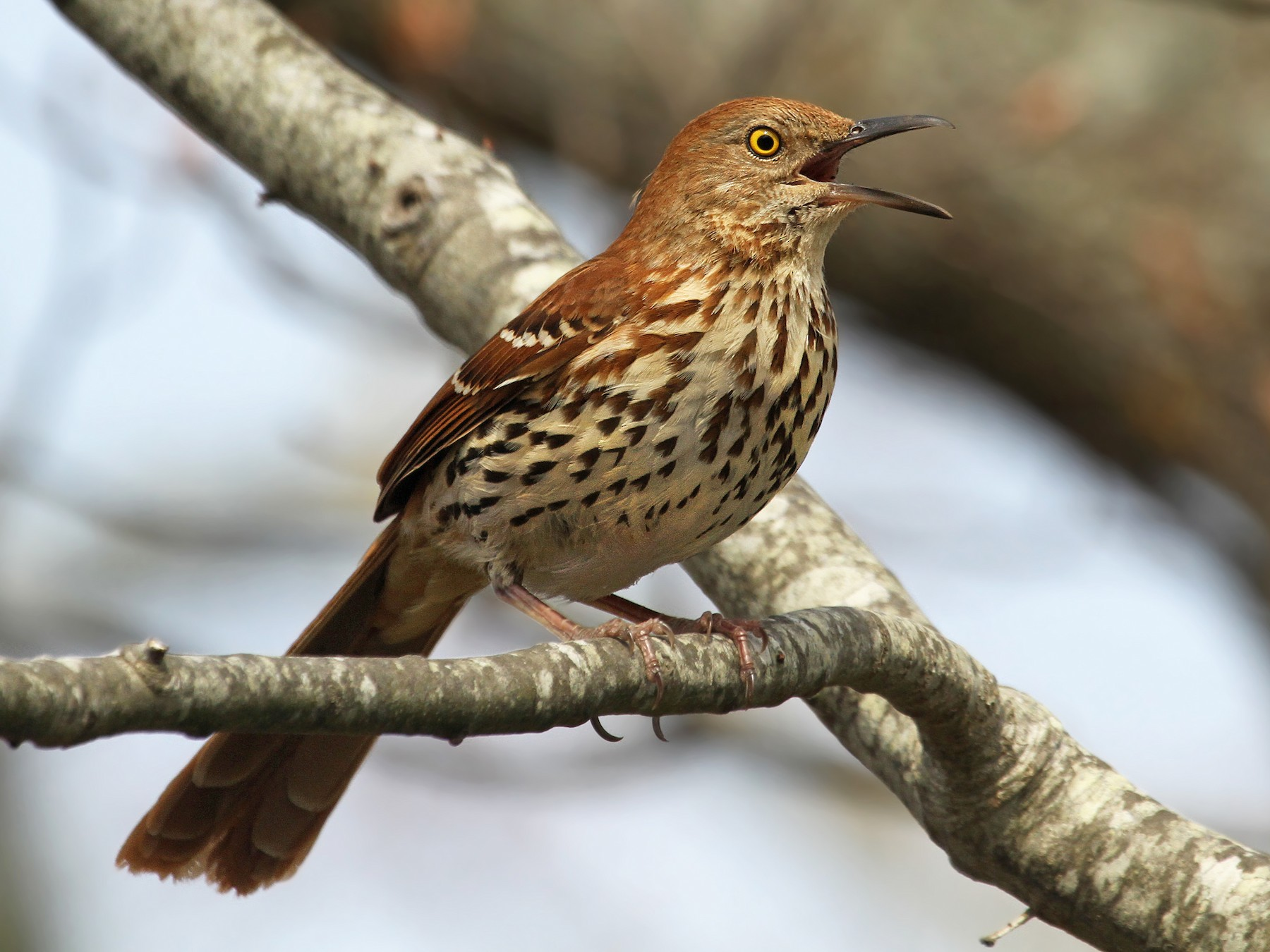 Brown Thrasher - Ryan Schain
