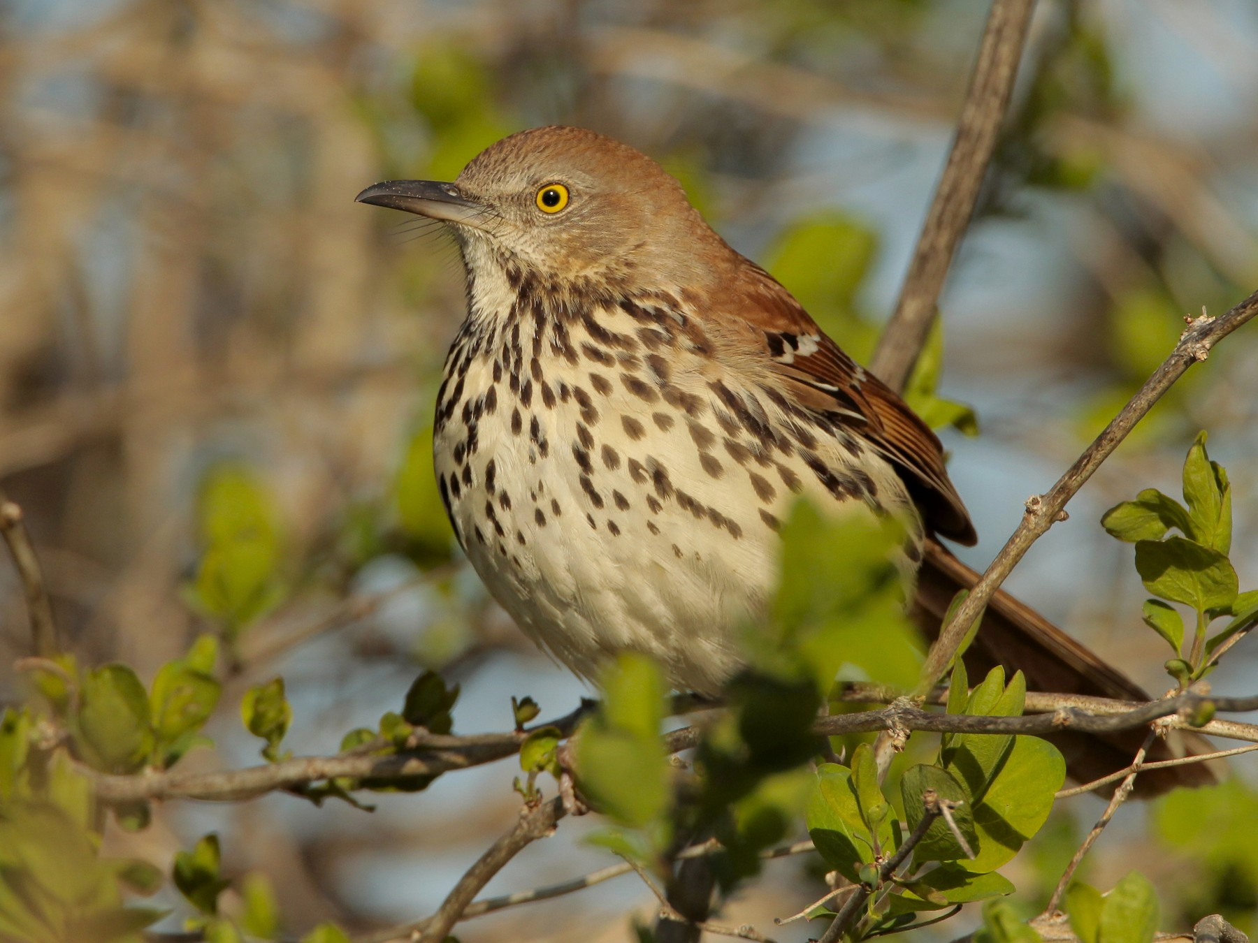 Brown Thrasher - James Kinderman
