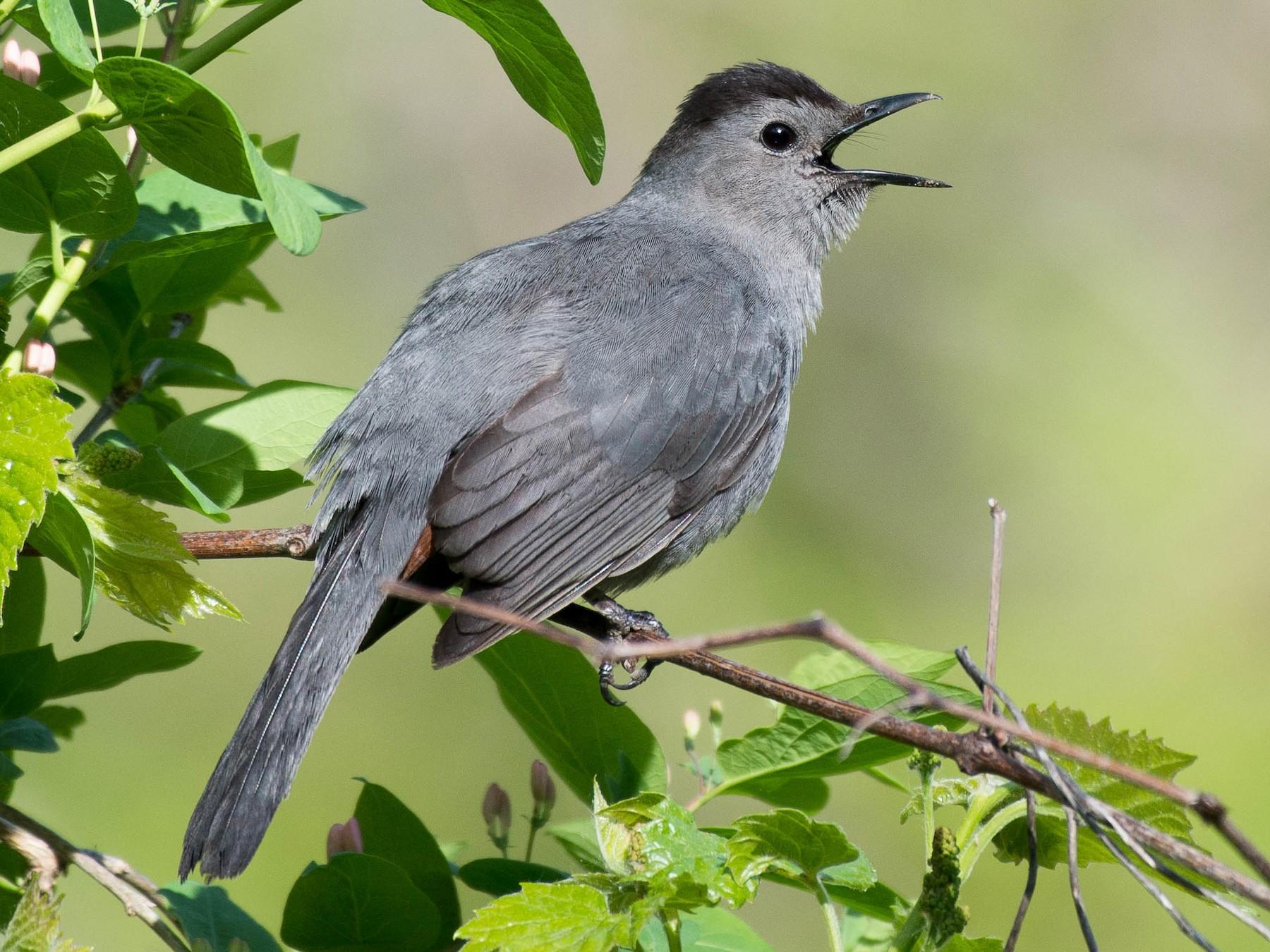 Gray Catbird - Steven Guertin