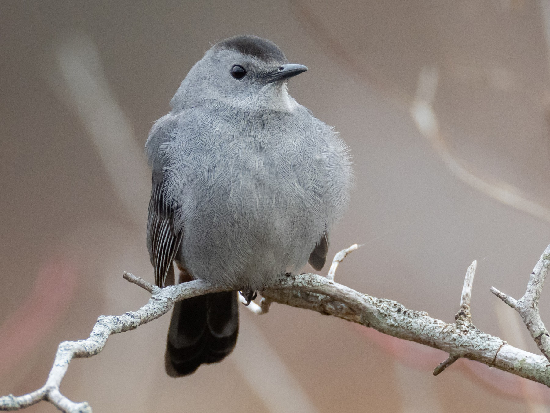 Gray Catbird - Paul Jones