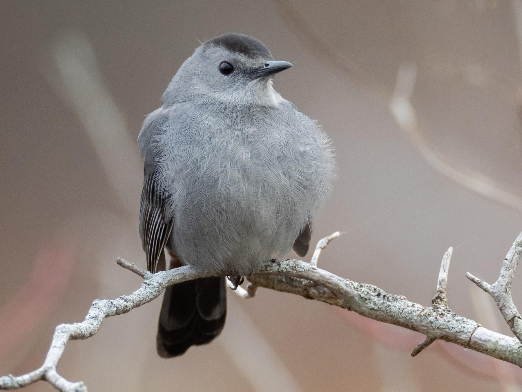 Gray Catbird - Paul Jones