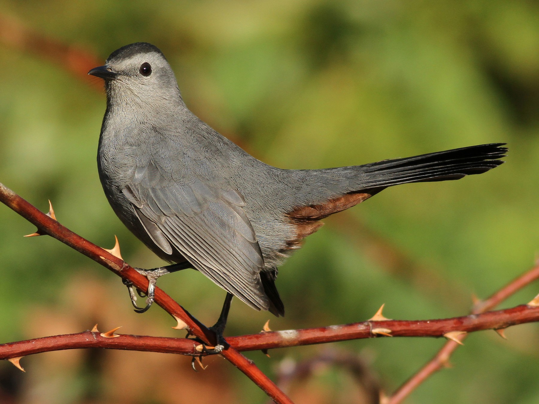 Gray Catbird - Evan Lipton