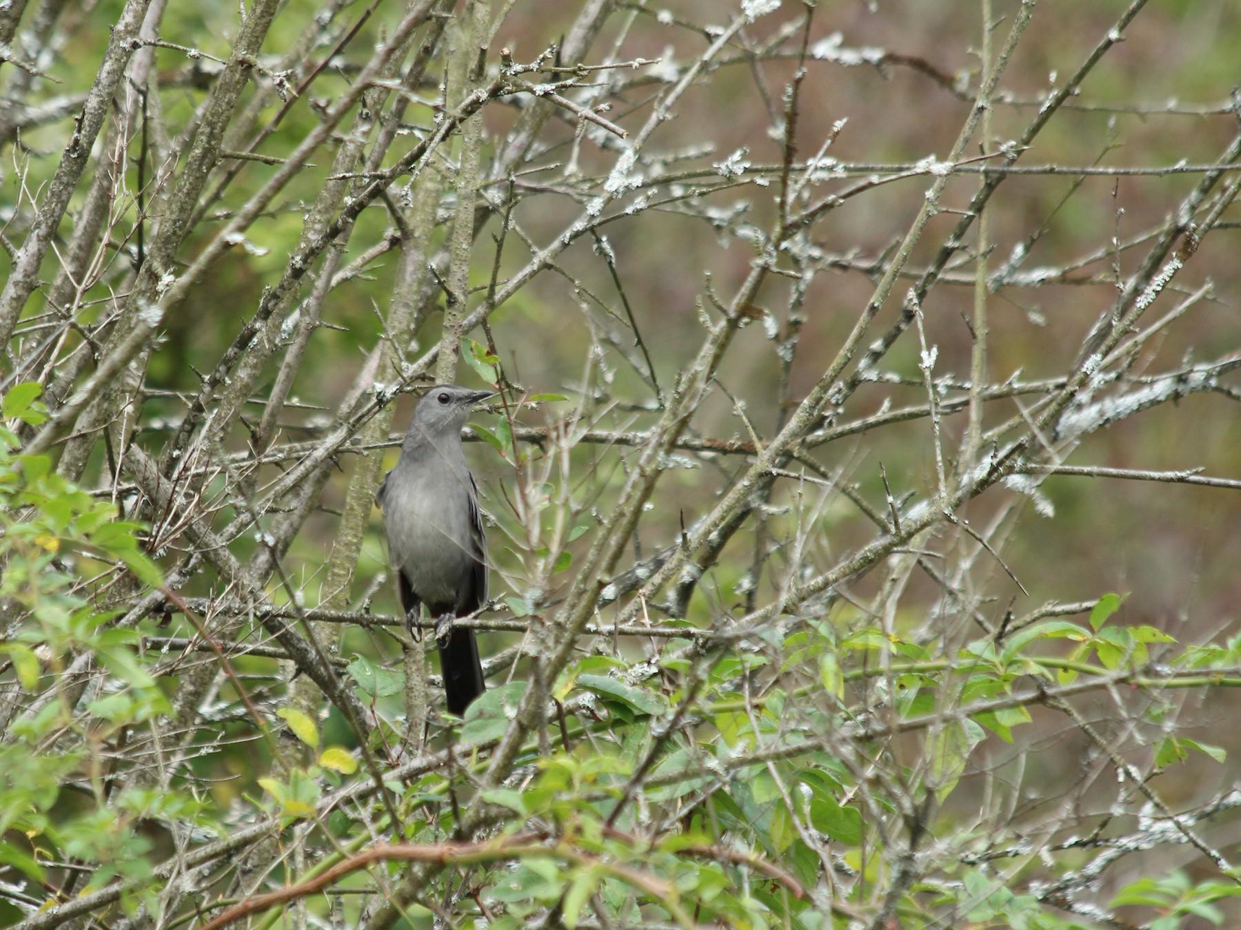 Gray Catbird - Marcie  Jacklin