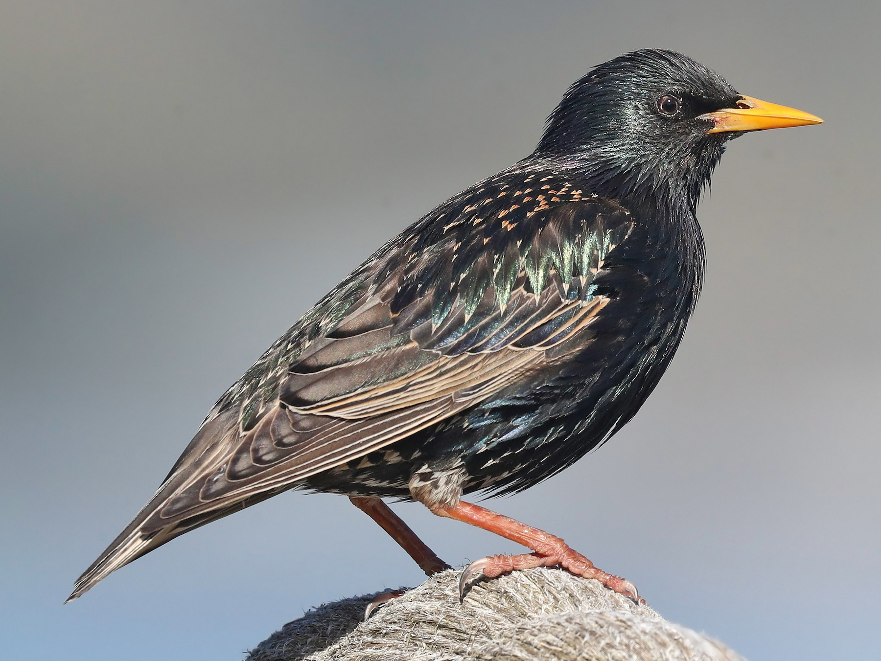 European Starling - Matt Davis