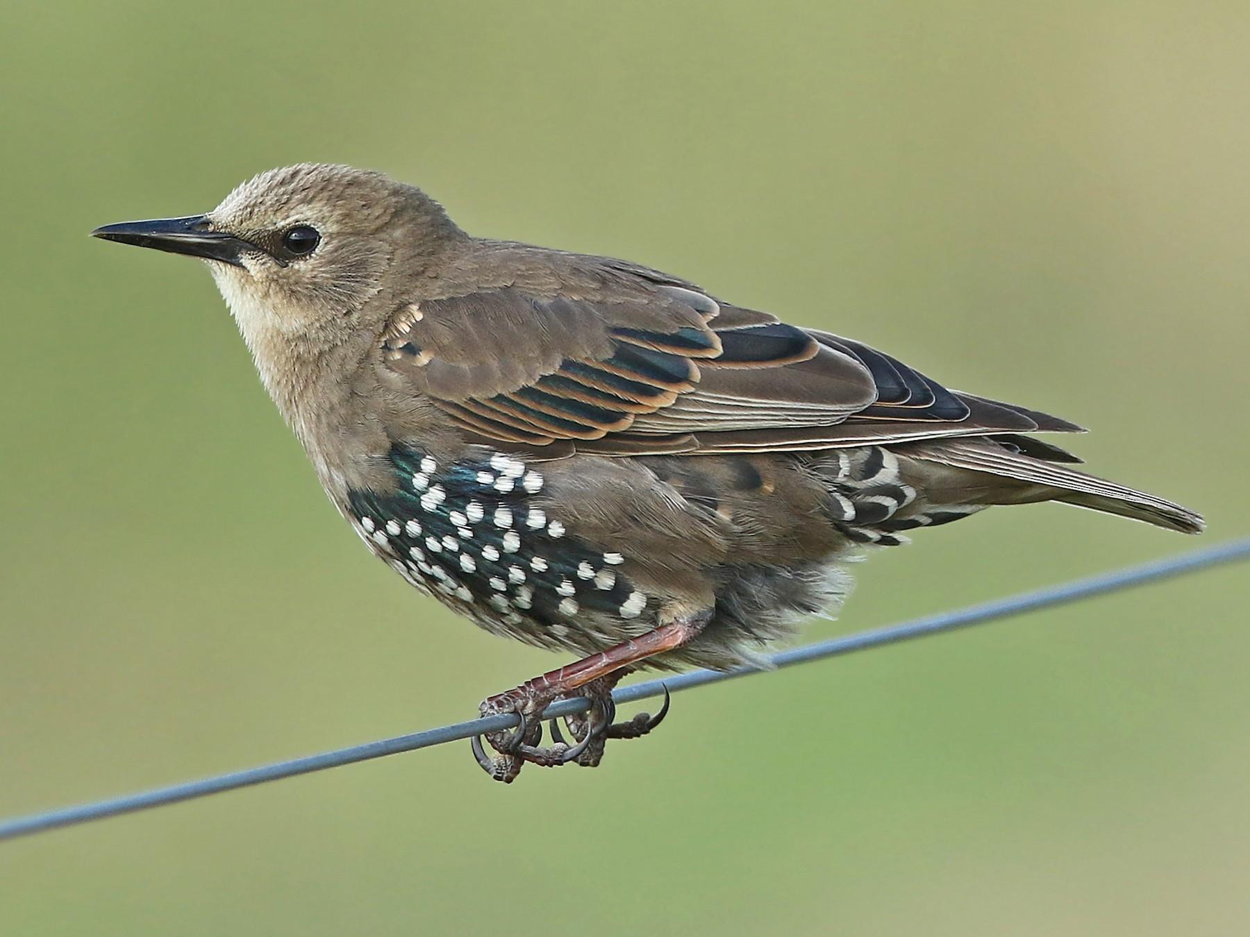 European Starling - Volker Hesse