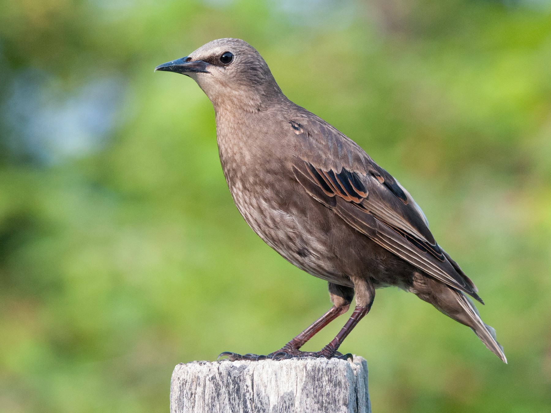 European Starling - Emily Turteltaub Nelson