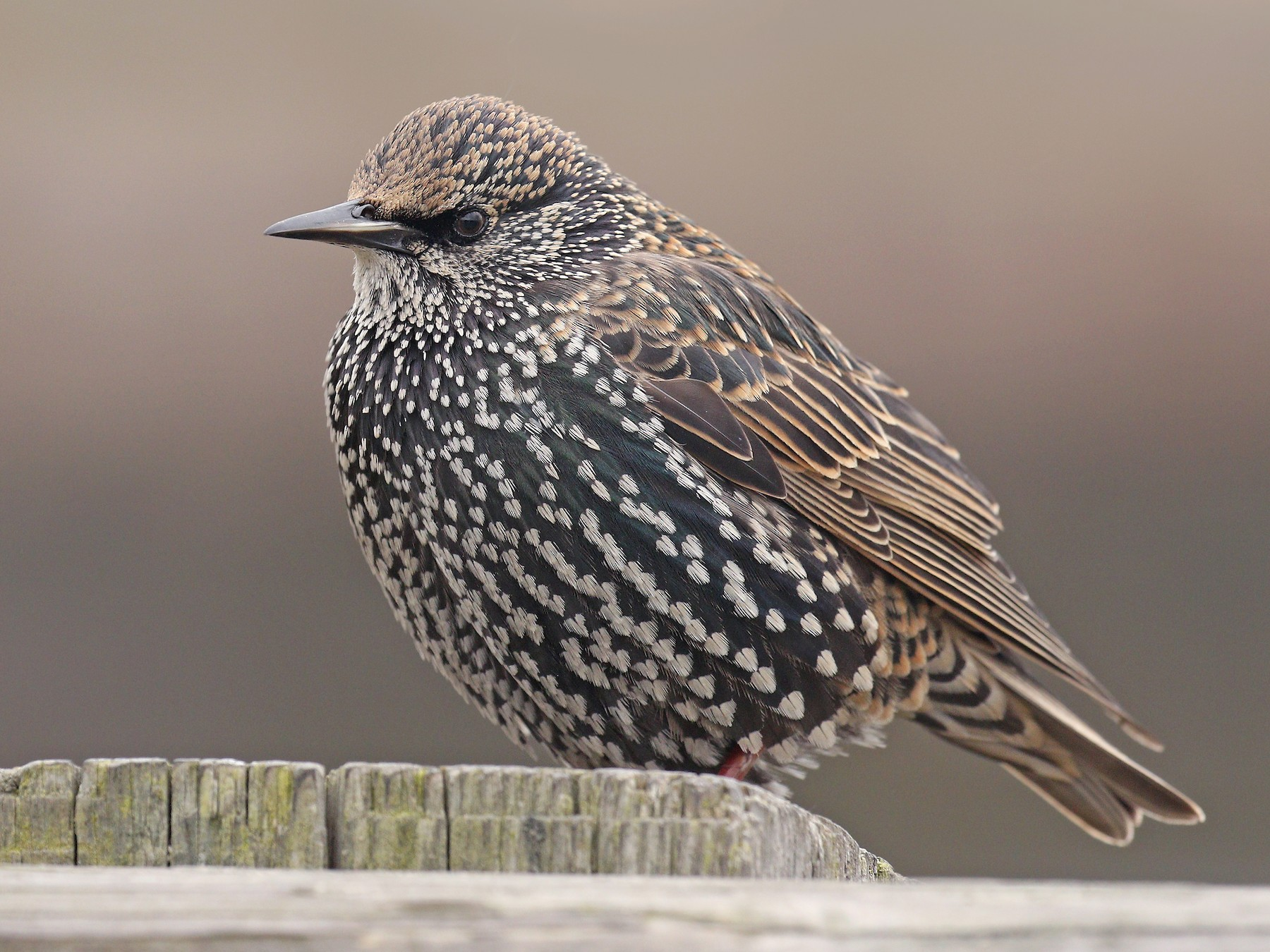 European Starling - Ryan Schain