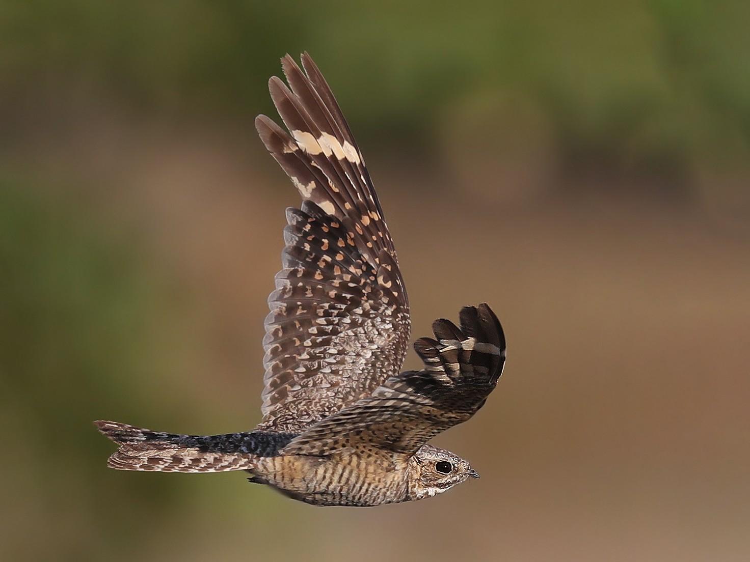 Lesser Nighthawk - Matt Davis