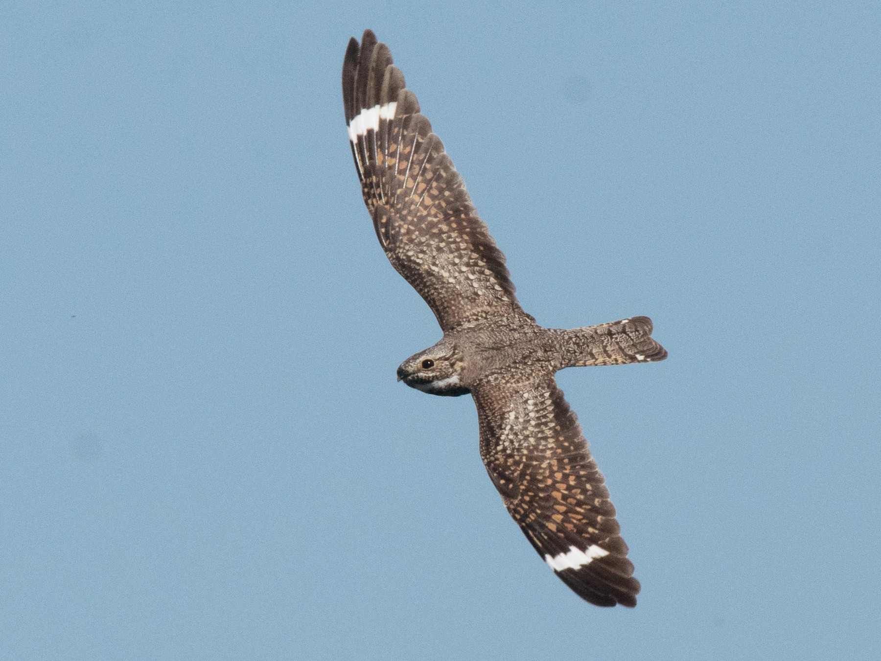 Lesser Nighthawk - Nancy Christensen