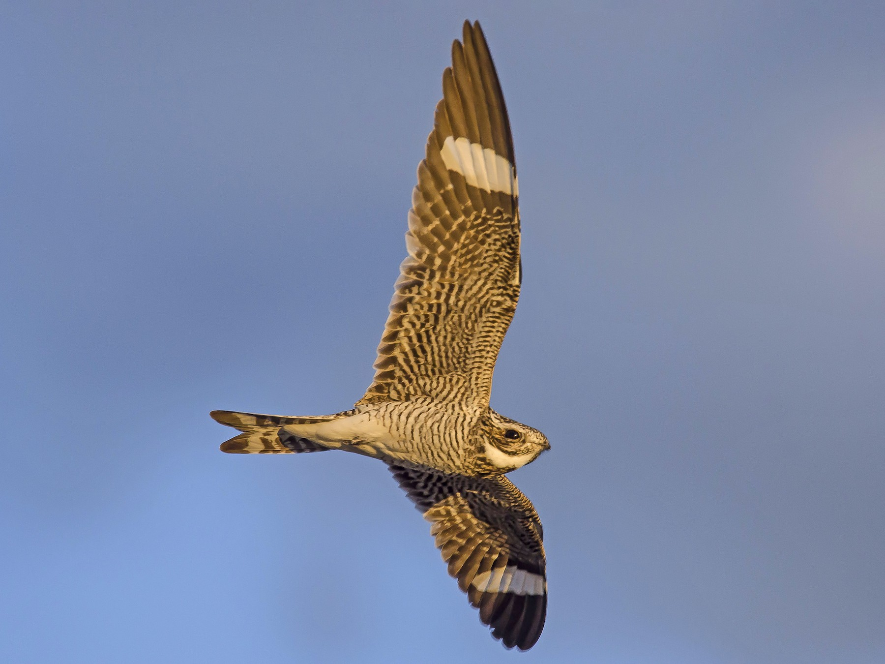 Common Nighthawk - Ronnie d'Entremont
