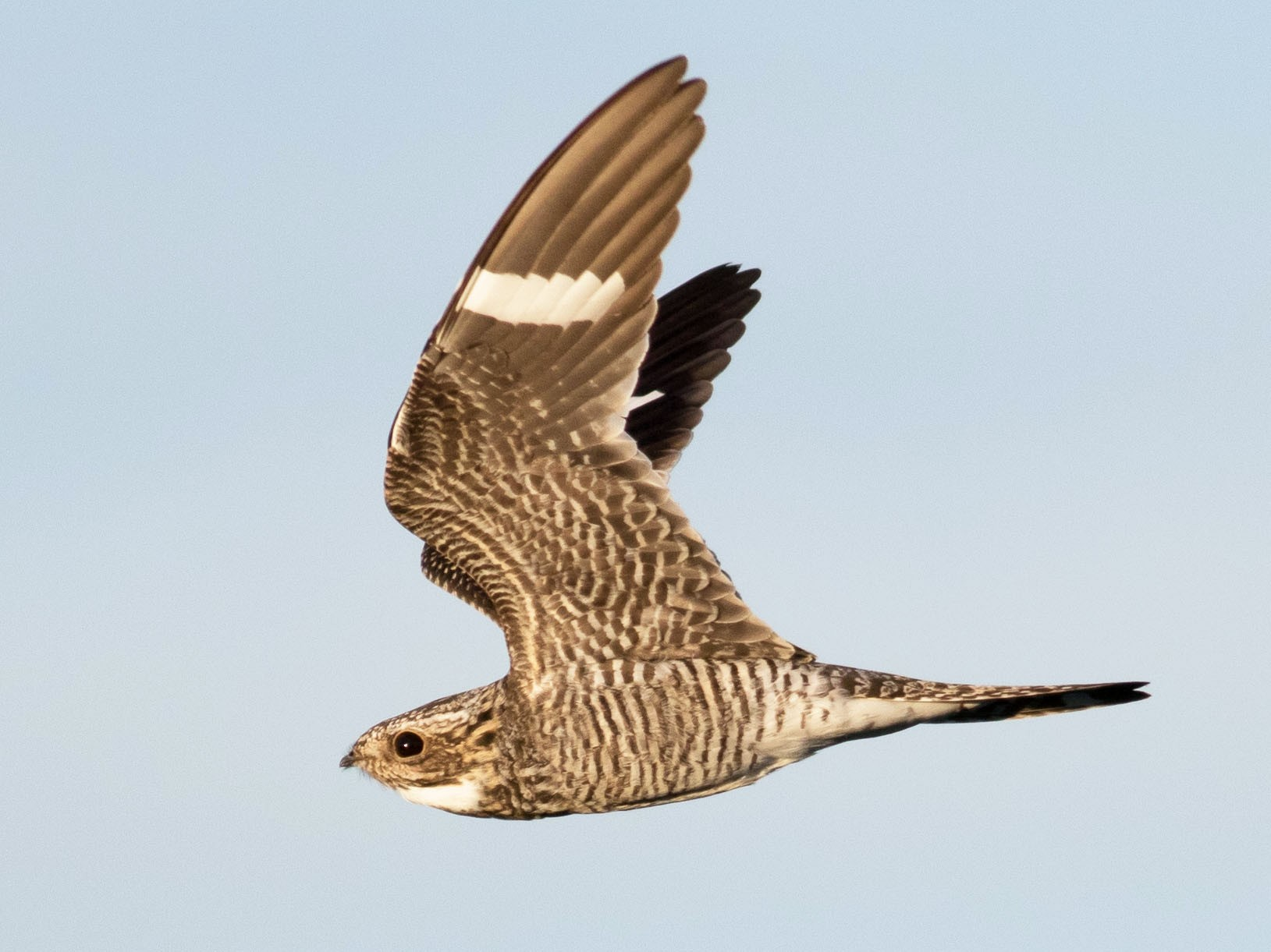 Common Nighthawk - Andrew  Dreelin