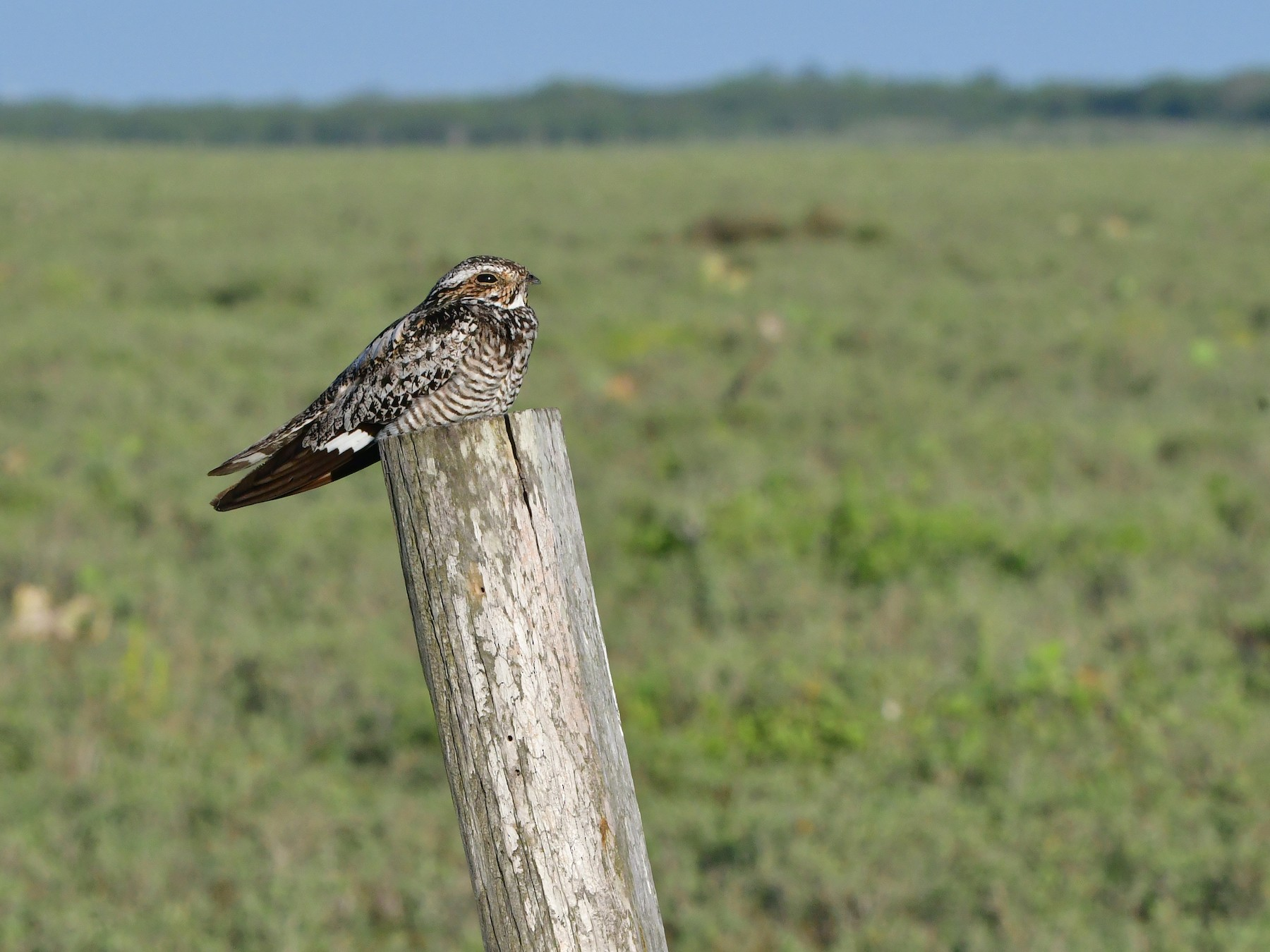 Common Nighthawk - Bryan Calk