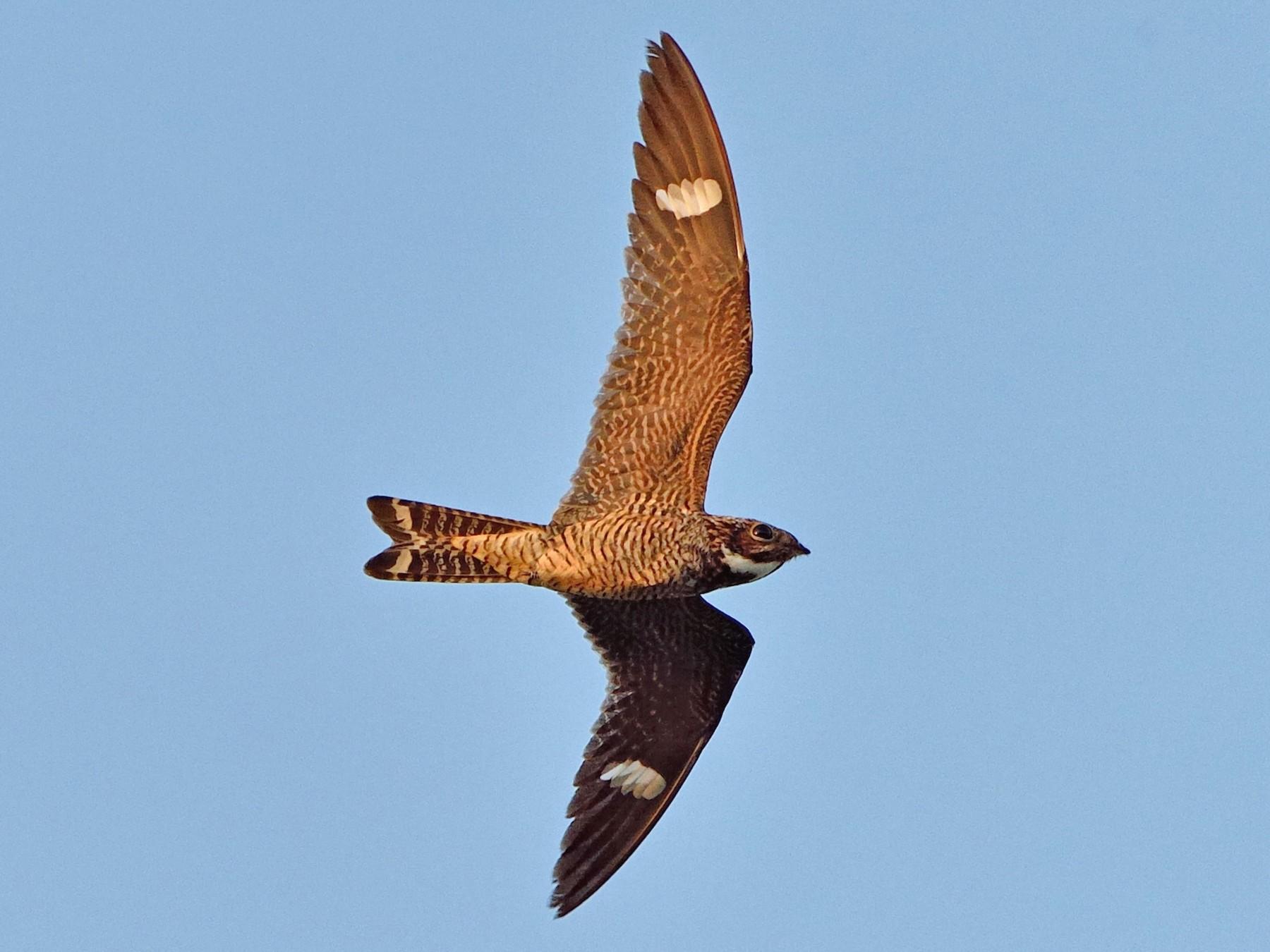 Antillean Nighthawk - Michiel Oversteegen