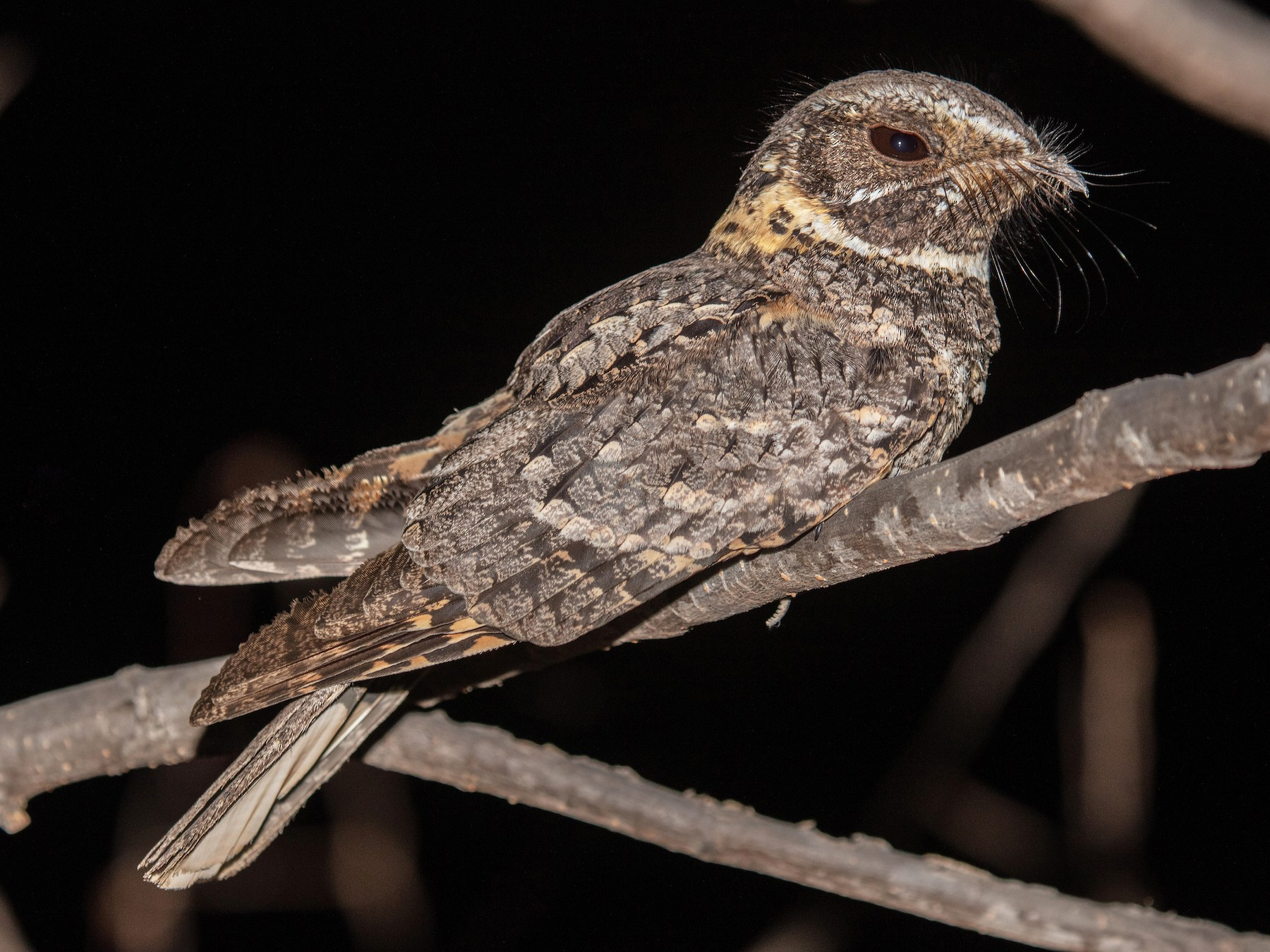 Buff-collared Nightjar - Blair Dudeck