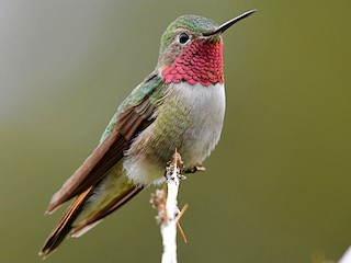 - Broad-tailed Hummingbird