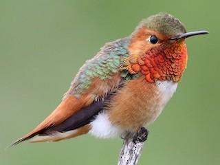 - Allen's Hummingbird