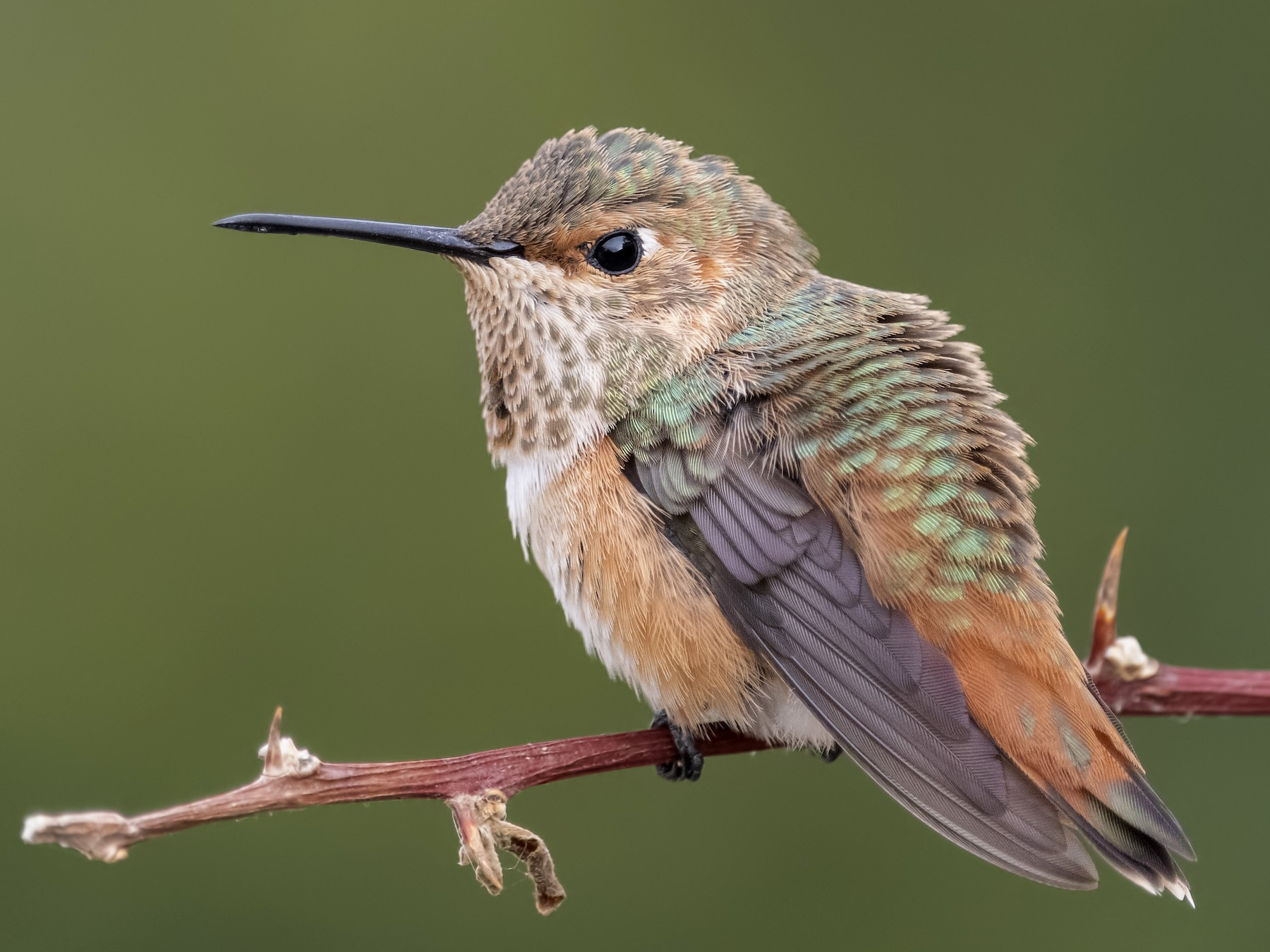 Allen's Hummingbird - Sharif Uddin