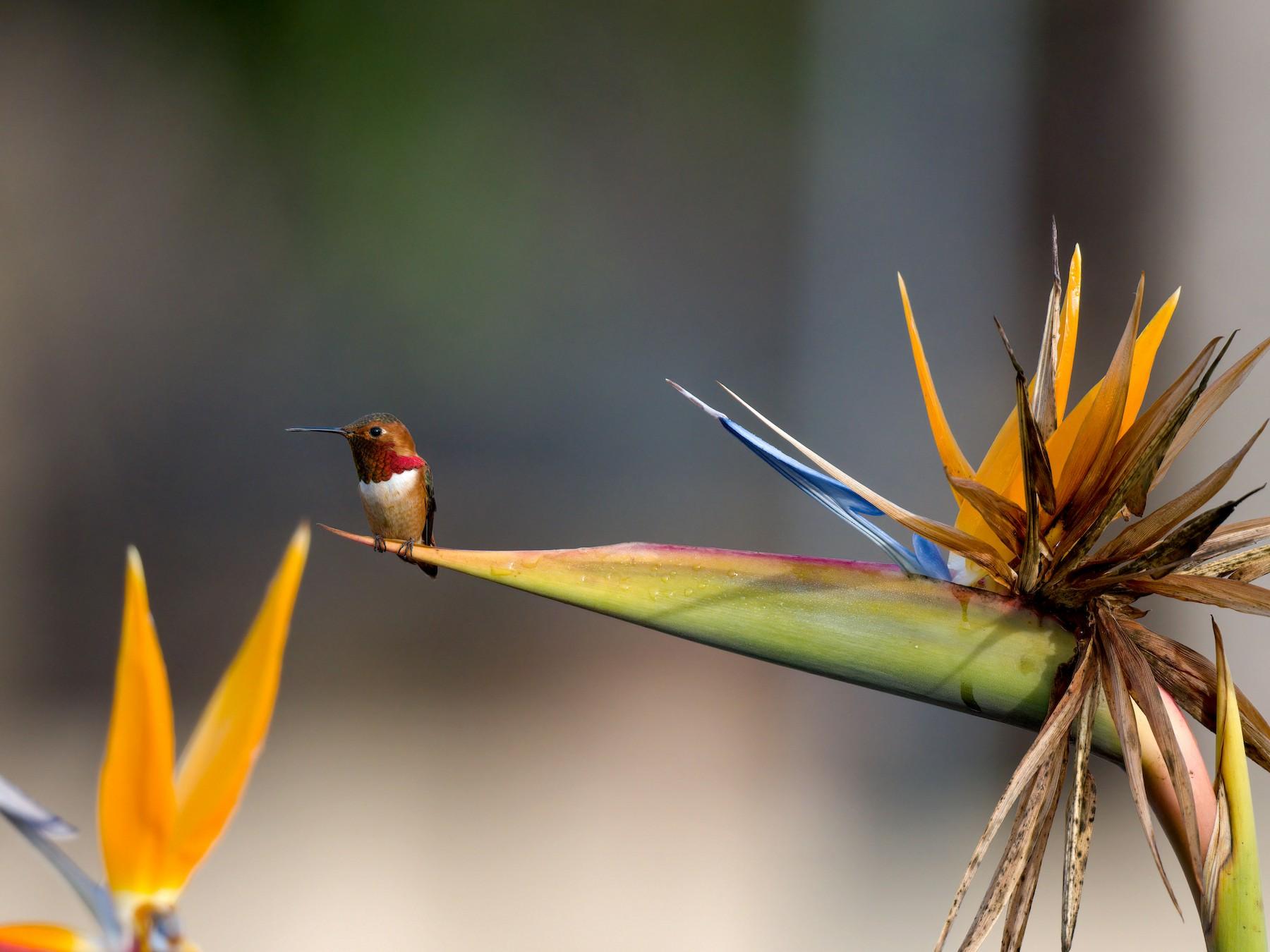 Allen's Hummingbird - Andrew Newmark