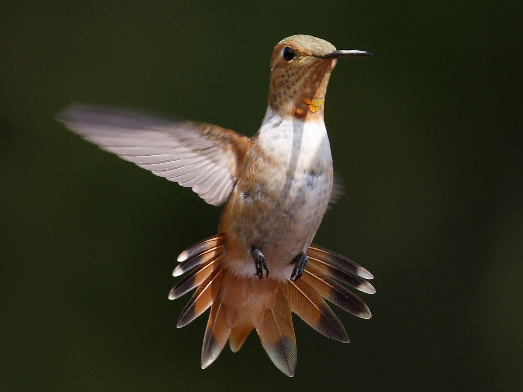 Allen's Hummingbird - Donna Pomeroy