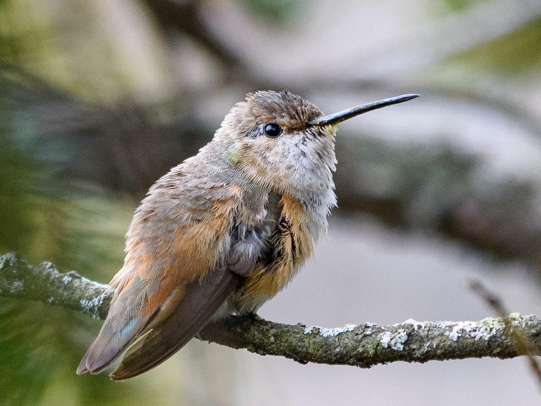 Allen's Hummingbird - Peter DeStefano