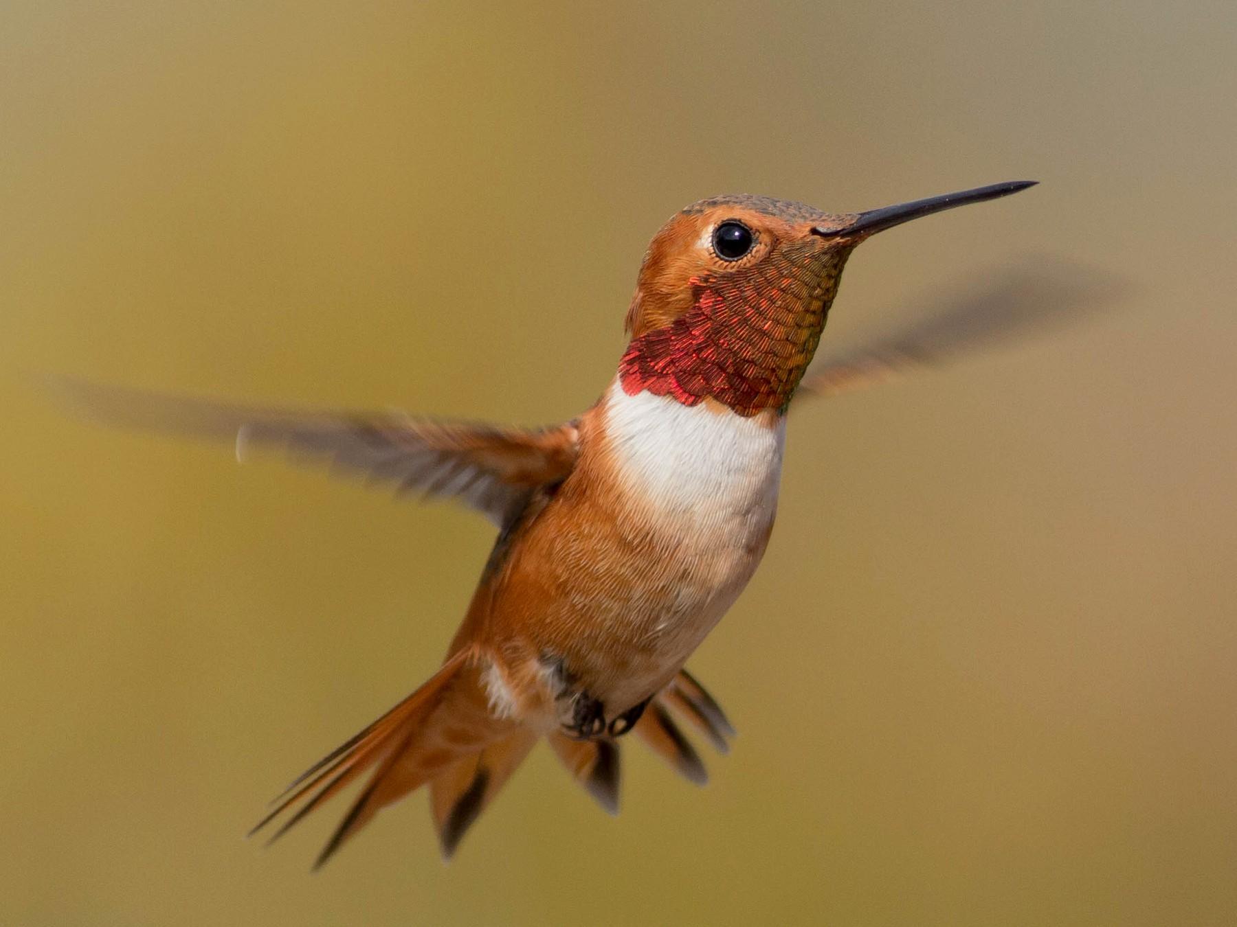 Allen's Hummingbird - Paul Fenwick