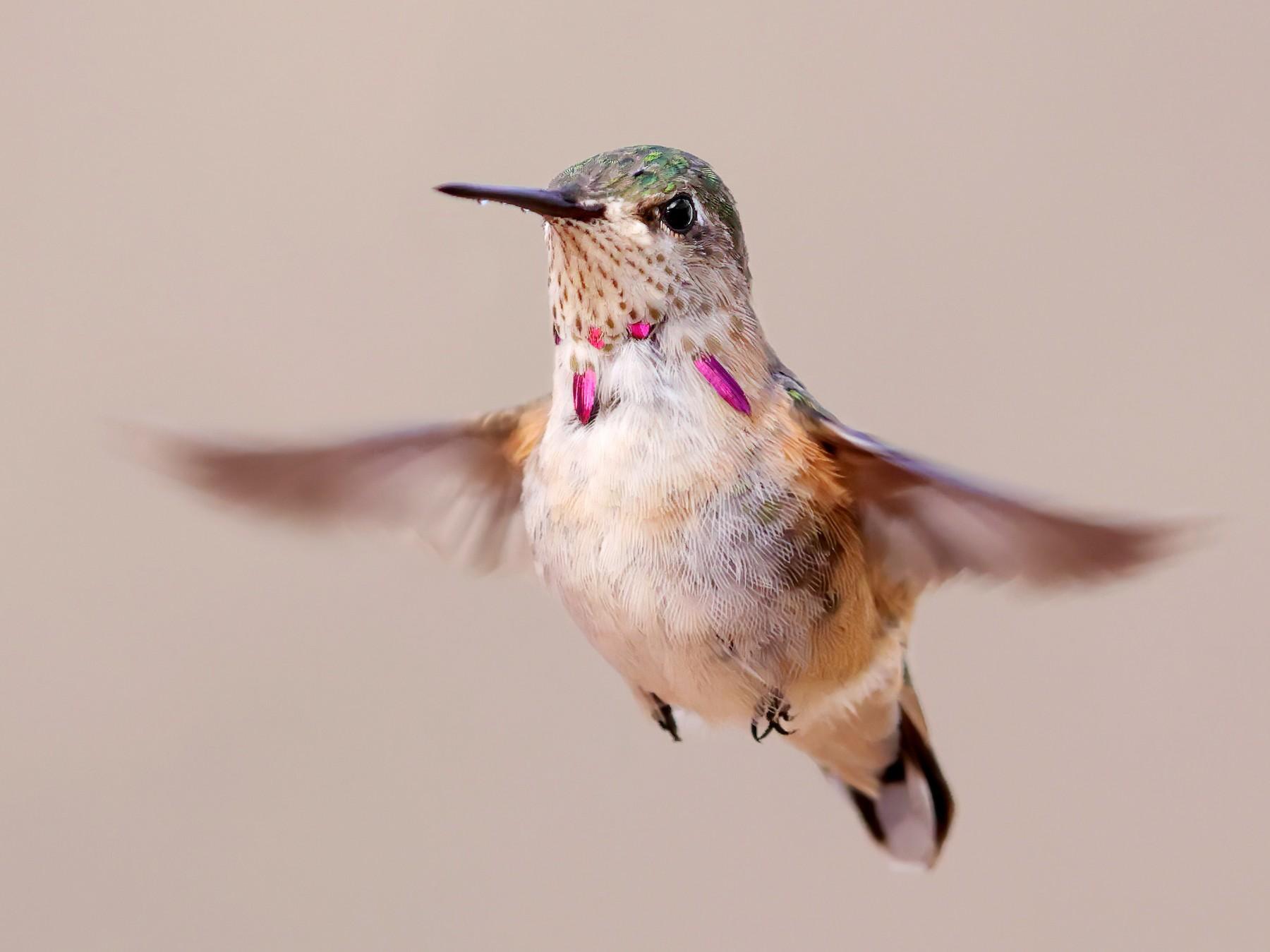 Calliope Hummingbird - Tony Dvorak