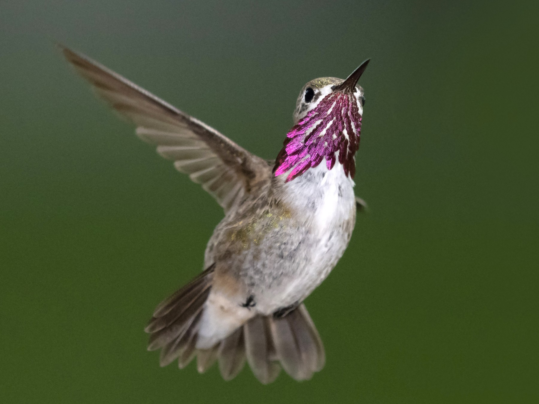 Calliope Hummingbird - Bryan Calk