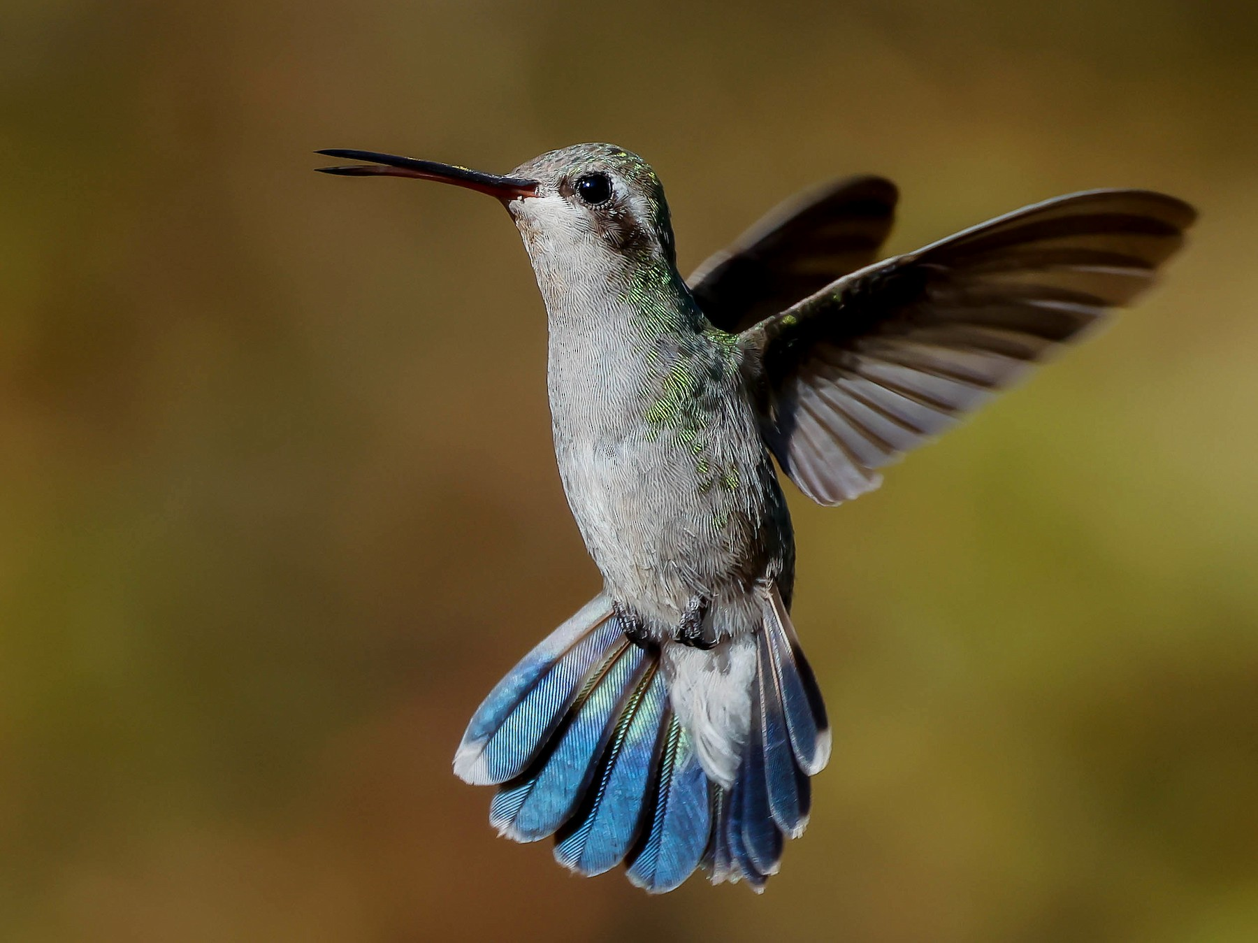 Broad-billed Hummingbird - Fernando Ortega