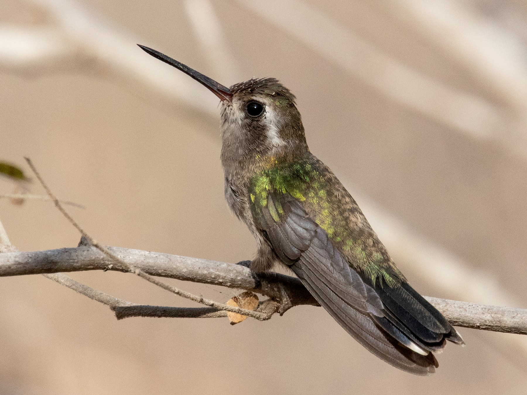 Broad-billed Hummingbird - Blair Dudeck