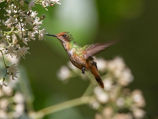- Short-crested Coquette