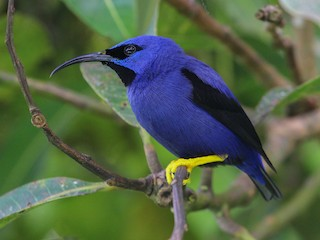 - Purple Honeycreeper