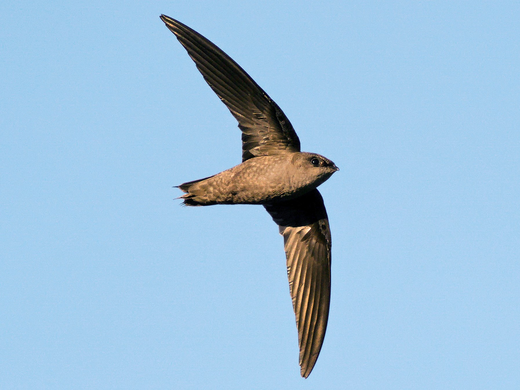 Chimney Swift - Peter Finley