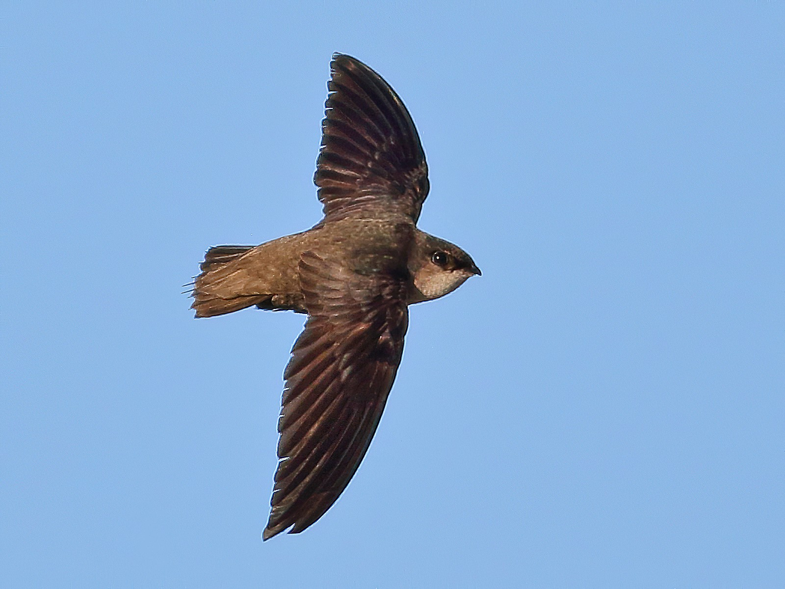 Chimney Swift - Sean Williams