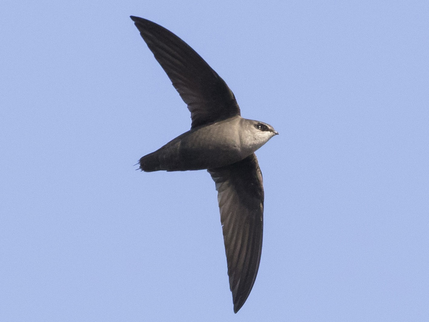 Chimney Swift - Caleb Putnam