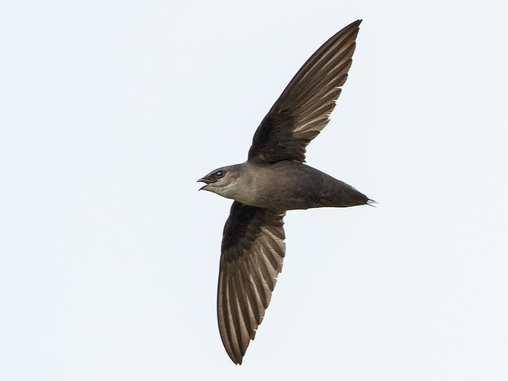 Chimney Swift - T. Jay Adams