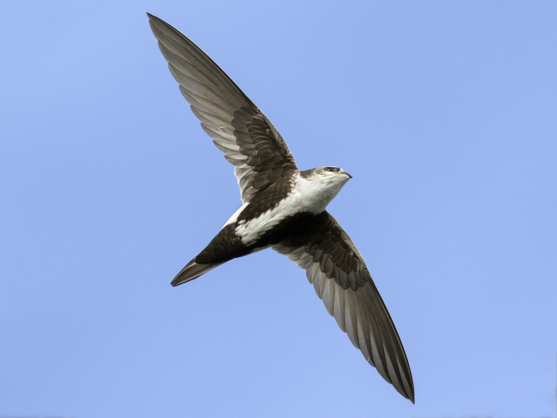 White-throated Swift - Jonathan Eckerson