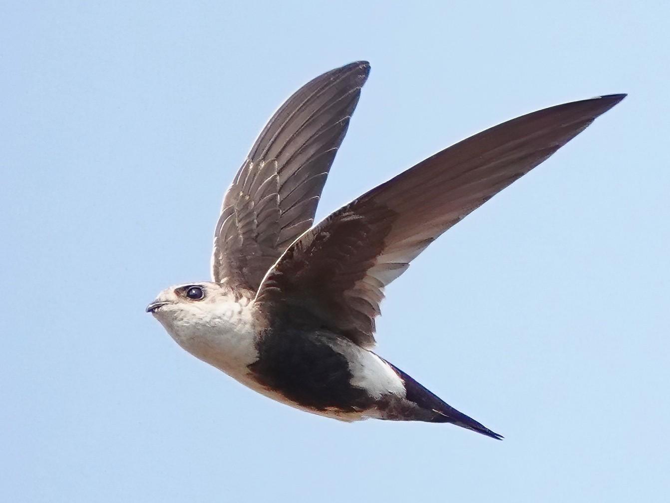 White-throated Swift - Carter Gasiorowski