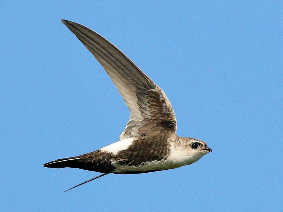 White-throated Swift - Bob Walker