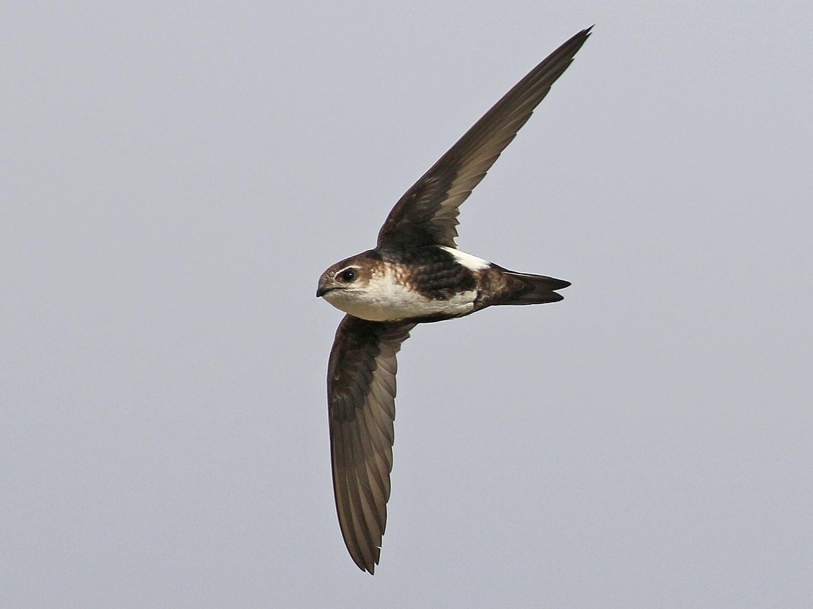 White-throated Swift - Matthew Grube