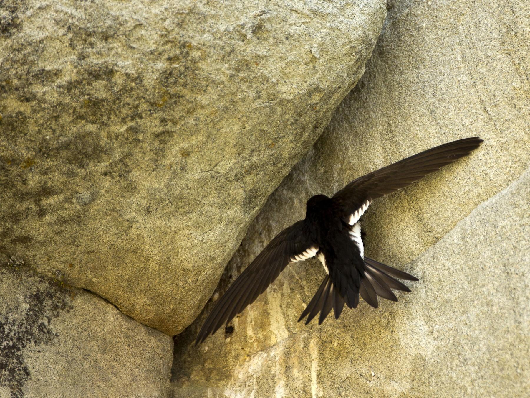 White-throated Swift - Janine Schutt