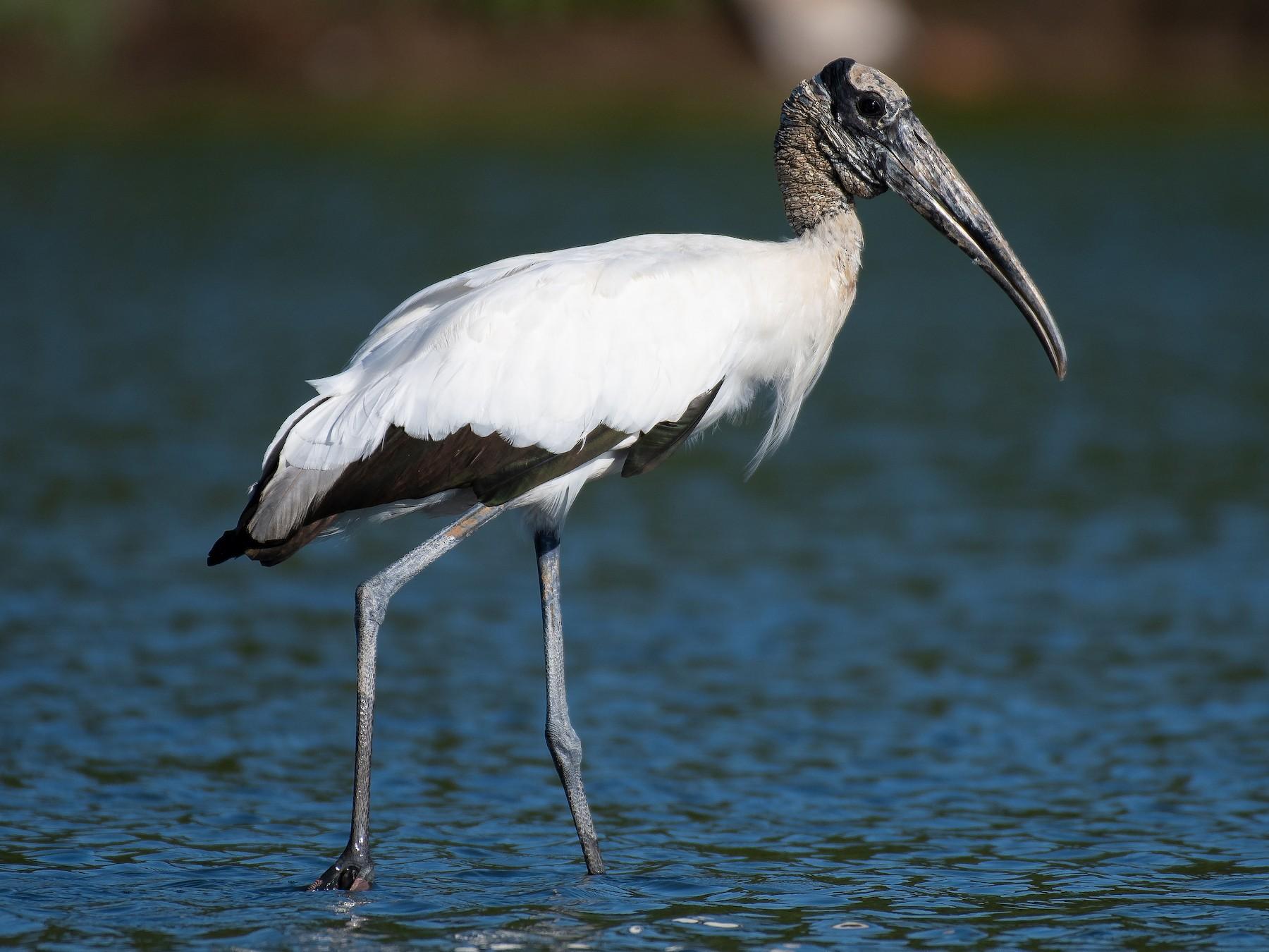 Wood Stork - Rio Dante