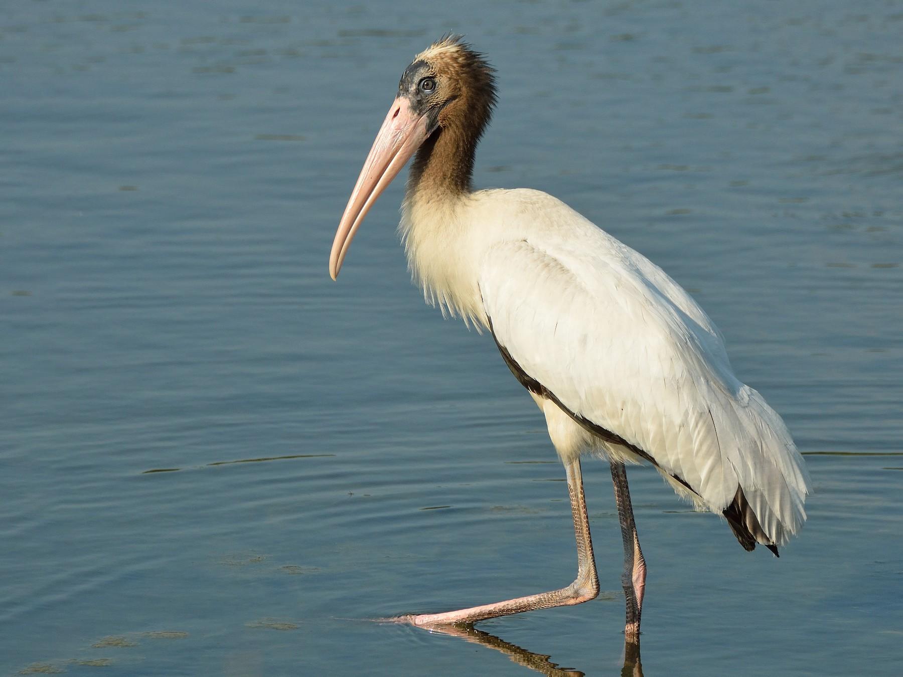 Wood Stork - Jason Denesevich