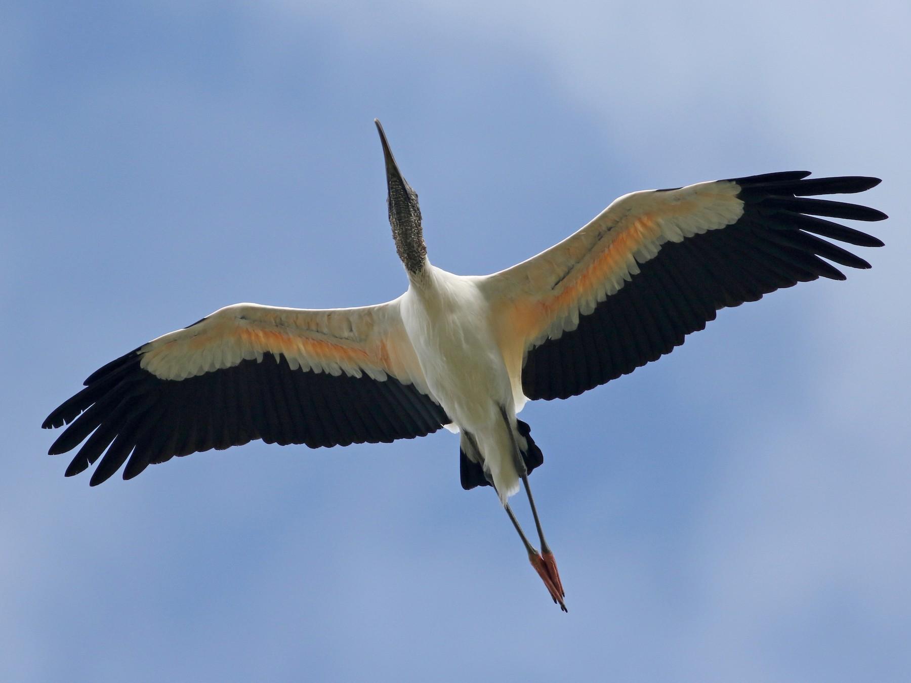 Wood Stork - Jay McGowan