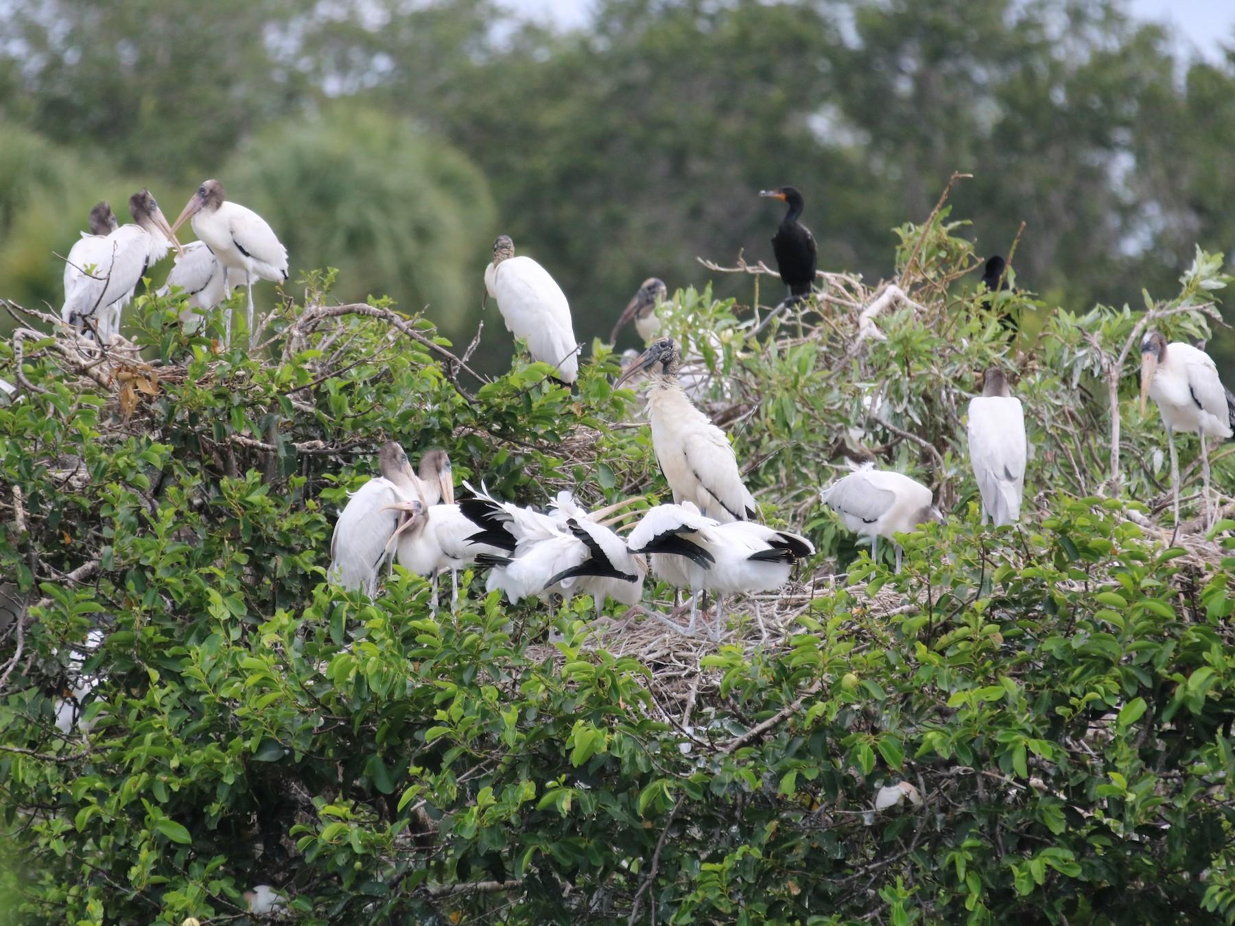 Wood Stork - Philip Andescavage