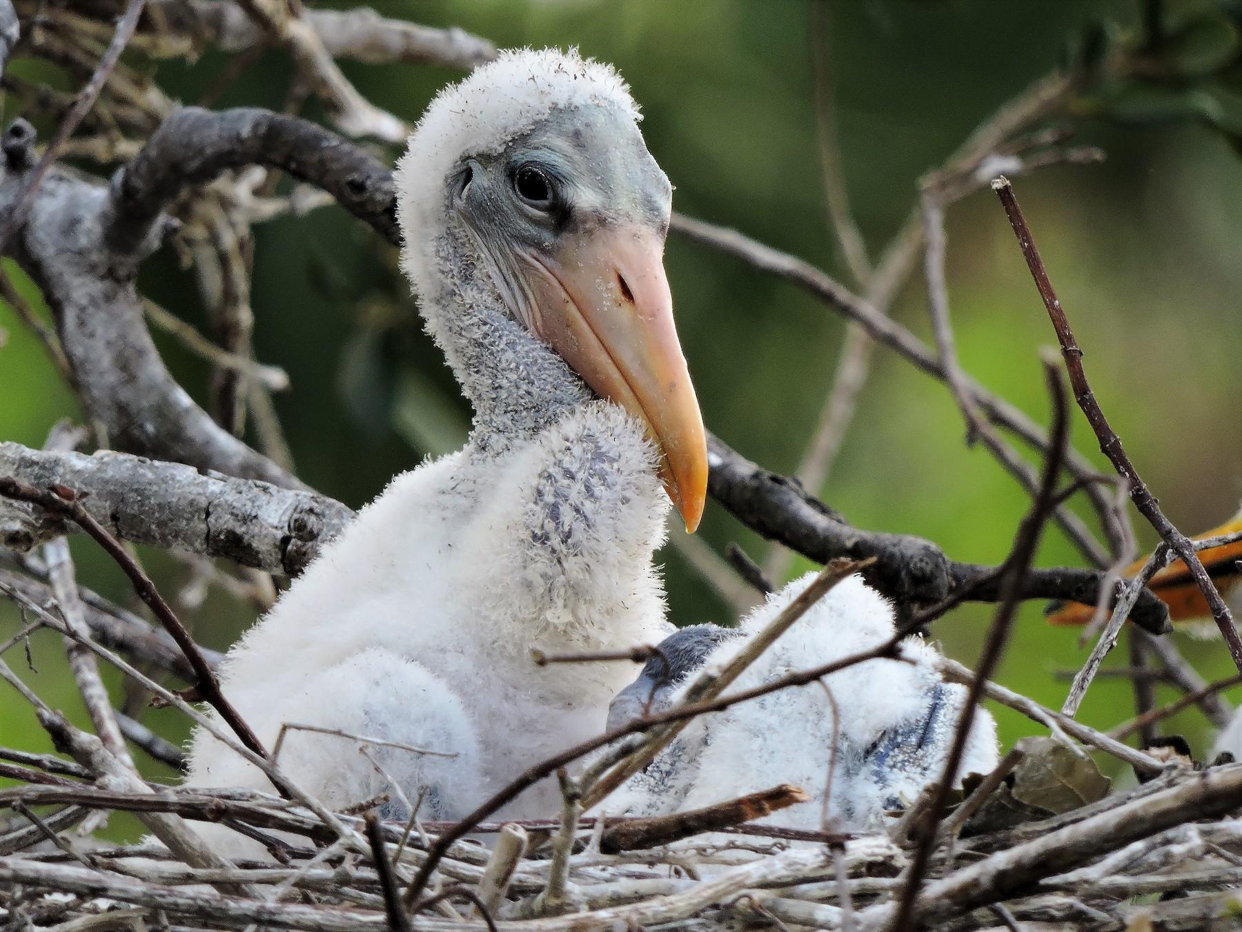 Wood Stork - S. K.  Jones