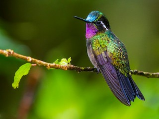 - Purple-throated Mountain-gem