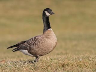 - Cackling Goose
