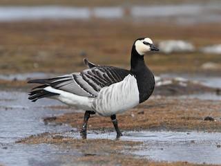- Barnacle Goose