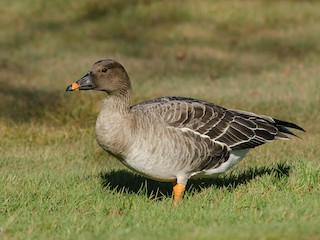 - Tundra Bean-Goose