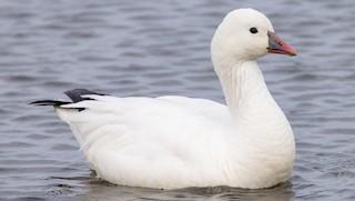Ross's Goose, ML304135771